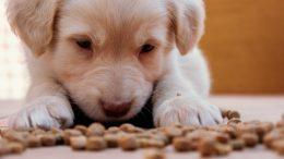 Comment évolue l'alimentation d'un chien au long de sa vie