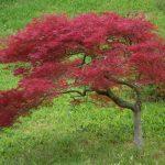 Plantation, entretien et élagage d'un érable du Japon